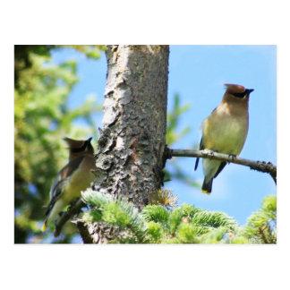 Cedar waxwings postcard