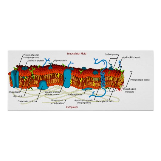 Cell Membrane Diagram Common In All Living Cells Poster Zazzle