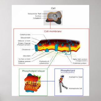 Cell Plasma Membrane Plasmalemma Diagram Print