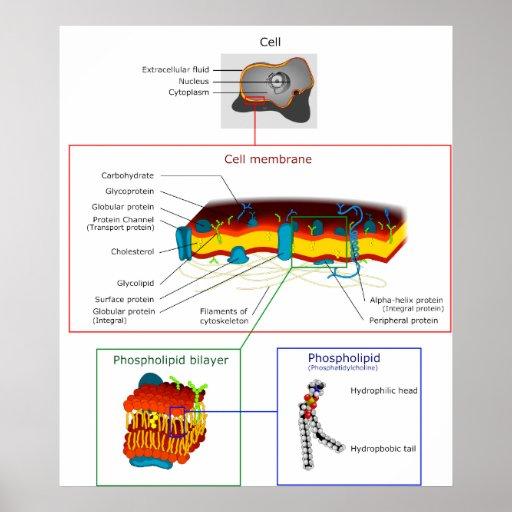 Plasma+Cell+Diagram Cell Plasma Membrane Plasmalemma Diagram Print ...