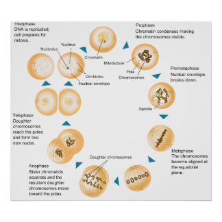 Cellular Mitosis Schematic Diagram Poster