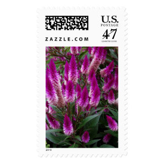 Celosia Postage Stamp