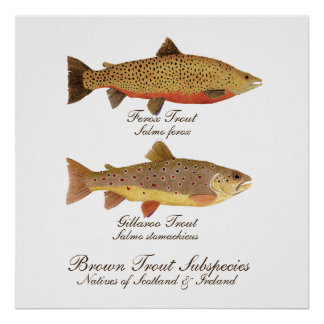 Celtic Trout Art Poster