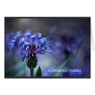 Centaurea cyanus flower - by KNairn Card