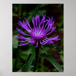 Centaurea del verano impresiones