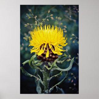 Centaurea macroephala, globe knapweed  flowers poster