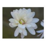 Centennial bonito de la magnolia tarjetas postales