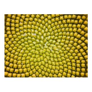 Center of giant Sunflower (Helianthus annuus) Postcard