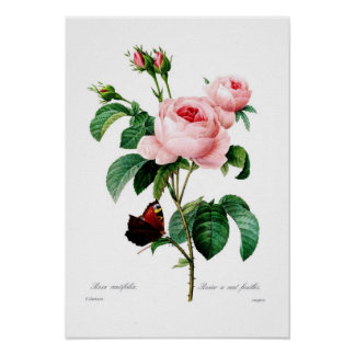 Centiflora de Rosa Impresiones