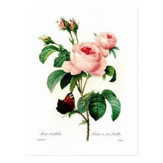 Centifolia de Rosa de Pedro-José Redouté Postales