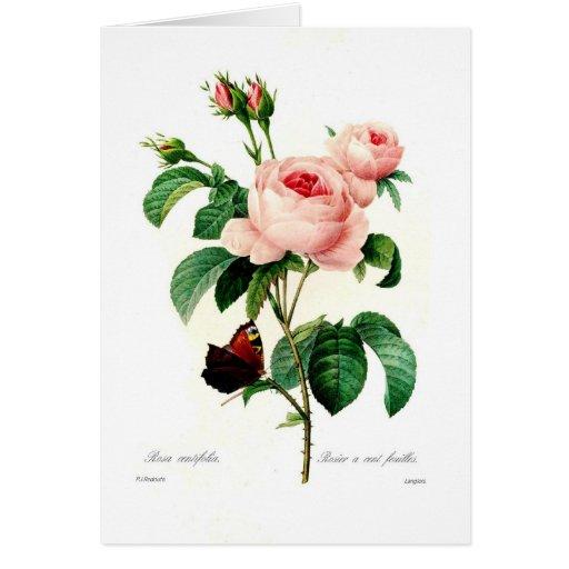 Centifolia de Rosa Tarjeta De Felicitación