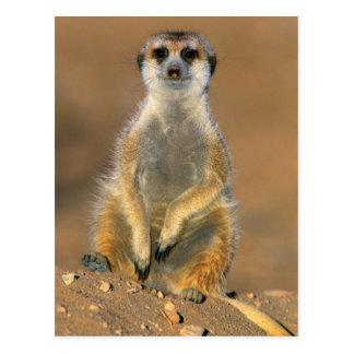 Centinela de Meerkat (Suricata Suricatta) en la Postales