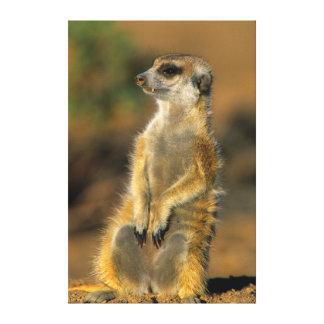 Centinela de Meerkat (Suricata Suricatta) Impresiones En Lona Estiradas