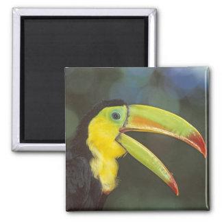 Central America, Costa Rica. Keel-billed Magnet