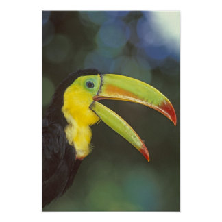 Central America, Costa Rica. Keel-billed Poster