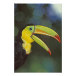 Central America, Costa Rica. Keel-billed Posters
