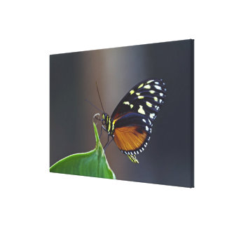 Central America, Costa Rica, Selva Verde. Gallery Wrap Canvas