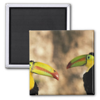 Central America, Honduras. Keel-billed Toucan 2 2 Inch Square Magnet