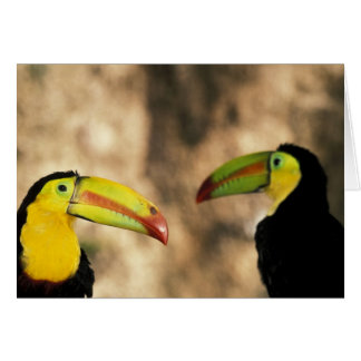Central America, Honduras. Keel-billed Toucan 2 Cards