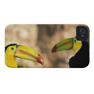 Central America, Honduras. Keel-billed Toucan 2 iPhone 4 Case-Mate Cases
