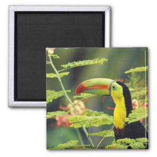 Central America, Honduras. Keel-billed Toucan 2 Inch Square Magnet