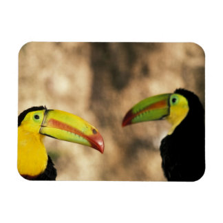Central America, Honduras. Keel-billed Toucan 2 Magnet