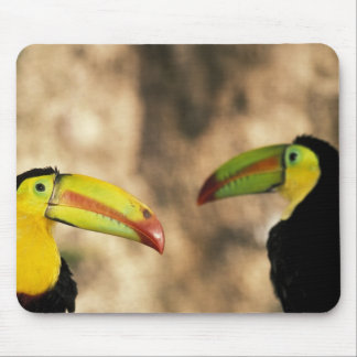 Central America, Honduras. Keel-billed Toucan 2 Mouse Pad
