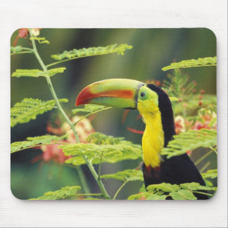 Central America, Honduras. Keel-billed Toucan Mouse Pad