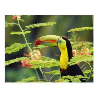 Central America, Honduras. Keel-billed Toucan Postcard