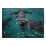 Central America, Panama. Bottle nosed dolphins Card