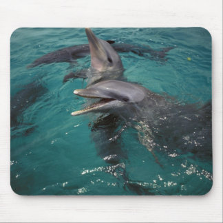 Central America, Panama. Bottle nosed dolphins Mouse Pad