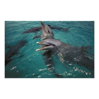 Central America, Panama. Bottle nosed dolphins Photo Print
