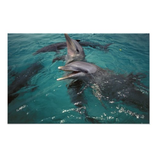 Central America, Panama. Bottle nosed dolphins Art Photo