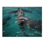 Central America, Panama. Bottle nosed dolphins Postcard
