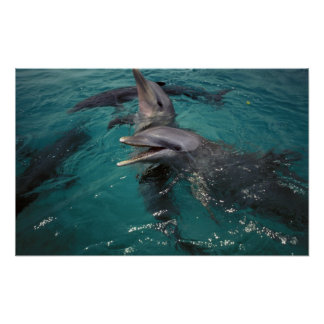 Central America, Panama. Bottle nosed dolphins Poster