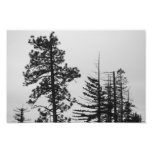 Central Oregon Pines Black and White Photographic Print