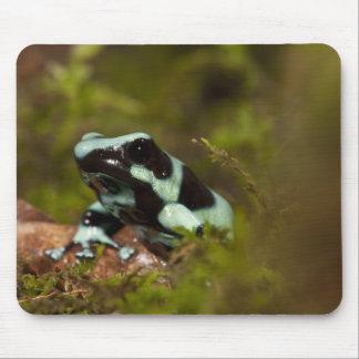 Central PA, USA, Auratus Dart Frog; aka Green Mouse Pad