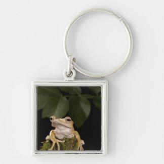 Central PA, USA,. Borneo Eared Frog; Silver-Colored Square Keychain