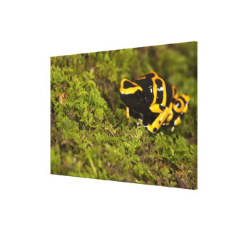 Central PA, USA, Bumble Bee Dart Frog; Canvas Print