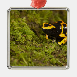 Central PA, USA, Bumble Bee Dart Frog; Metal Ornament