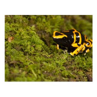 Central PA, USA, Bumble Bee Dart Frog; Postcard