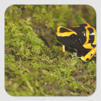 Central PA, USA, Bumble Bee Dart Frog; Square Sticker