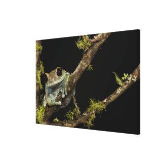 Central PA, USA, Maroon Eye Frog Moon Frog); Canvas Print