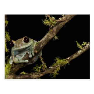 Central PA, USA, Maroon Eye Frog Moon Frog); Postcard