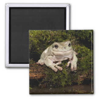 Central PA, USA, White's Treefrog; Litoria Magnet