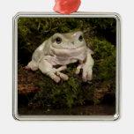 Central PA, USA, White's Treefrog; Litoria Ornaments