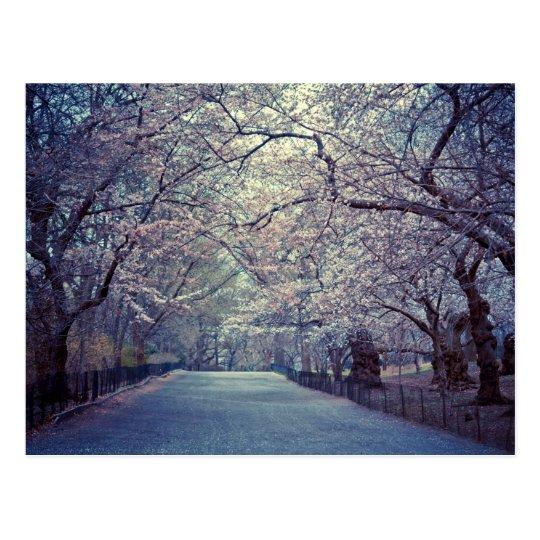 Central Park Cherry Blossom Path Postcard