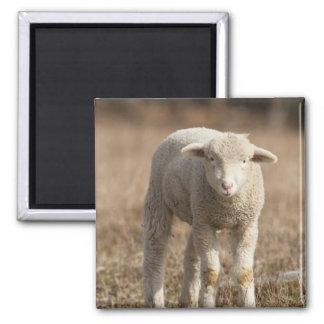 Central Pennsylvania, USA,Domestic sheep, Ovis 2 Inch Square Magnet