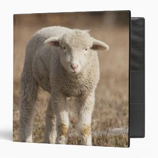 Central Pennsylvania, USA,Domestic sheep, Ovis 3 Ring Binders