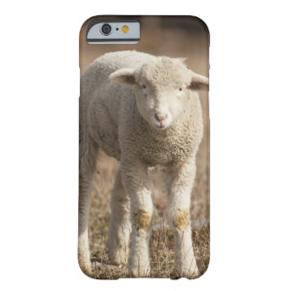 Central Pennsylvania, USA,Domestic sheep, Ovis Barely There iPhone 6 Case